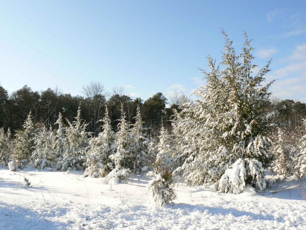 Snow_covered_pine_trees_landscape